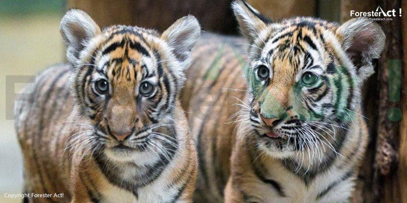 Harimau Sumatera yang ada di Taman Nasional Gunung Leuser
