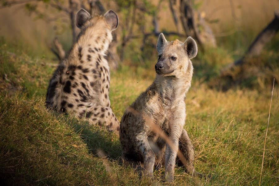 Hyena Africa