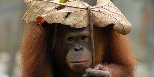Orang Utan via acoteerresponsibletravel.com