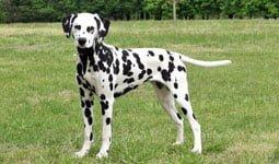 Anjing Dalmation
