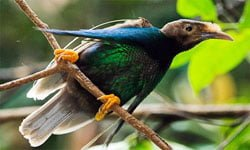 Burung Bidadari