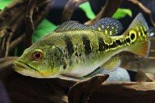 Ikan Bass