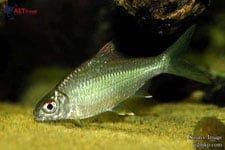 Ikan Bilis