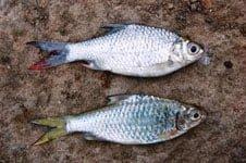 Ikan Brek