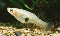 Ikan Cere