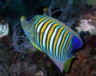 Ikan Injel