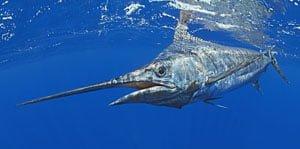 Ikan Marlin
