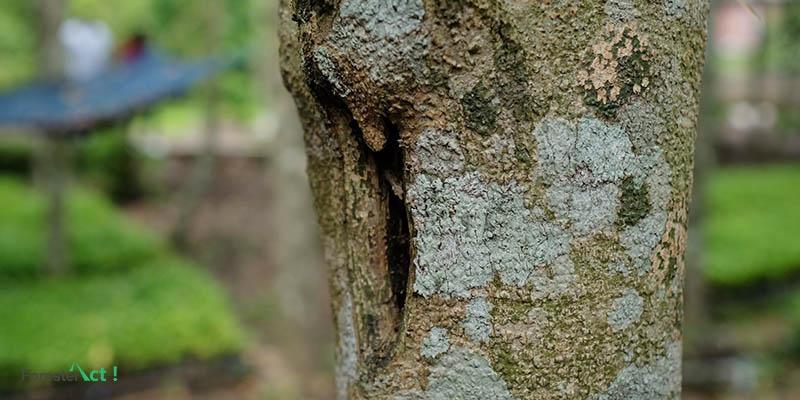 Batang Pohon Gaharu