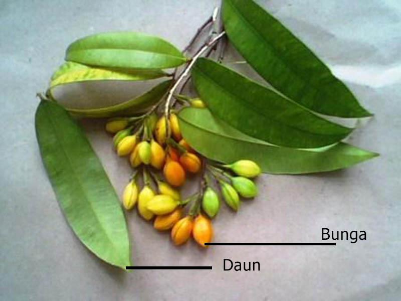Daun dan Bunga Pohon Gaharu