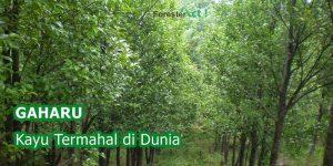 Pohon Gaharu Kayu Termahal di Dunia