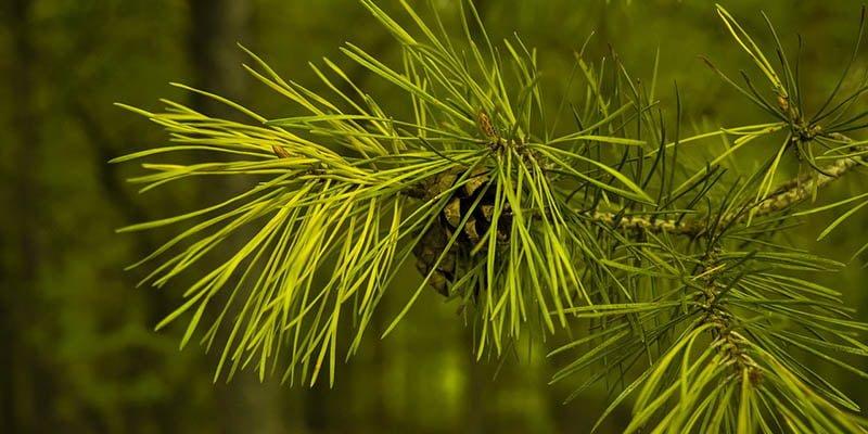 Daun Pinus