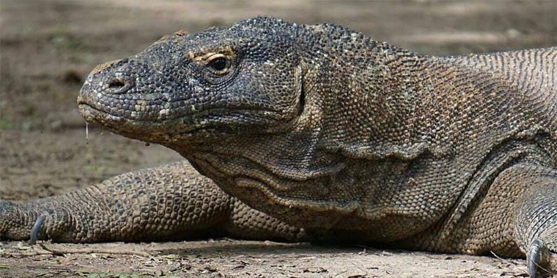 Spesies Komodo