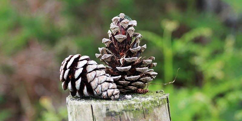 Strobilus Pohon Pinus