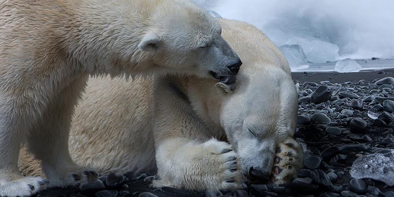 Beruang Kutub di Kutub Utara