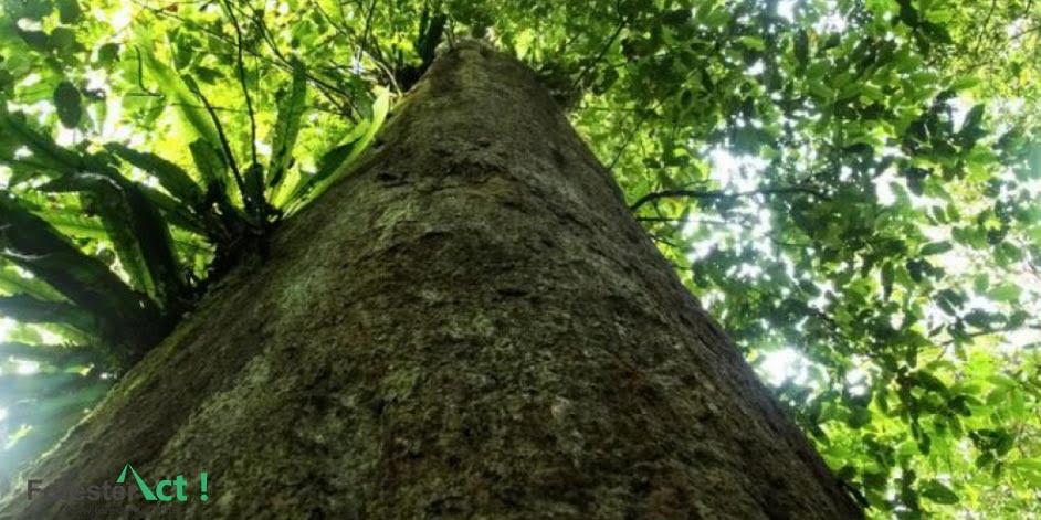 Batang Pohon Trembesi