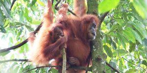 Orang Utan Sumatera