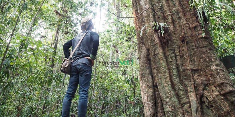 Pohon Ulin Berdiri