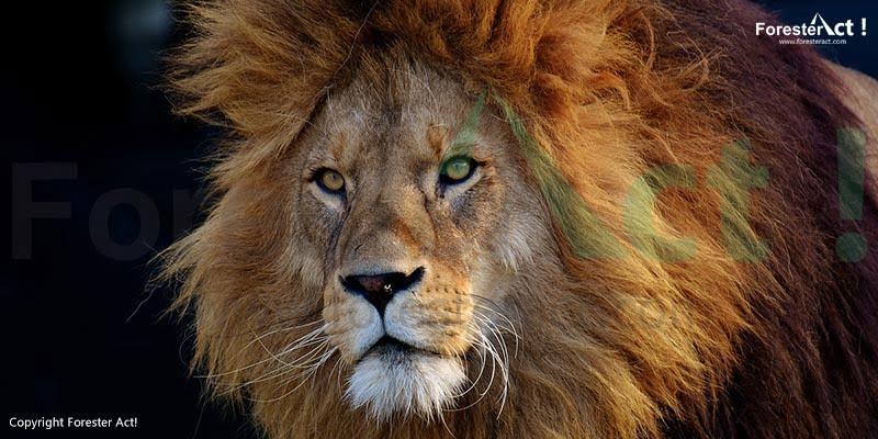 Singa sebagai Pemuncak Rantai Makanan