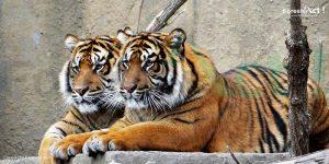 Anakan Harimau Sumatera