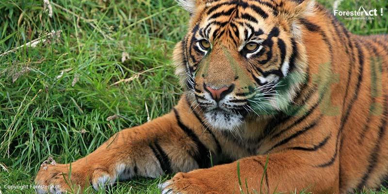 Harimau Sumatera Kucing Besar Penghuni Hutan Sumatera