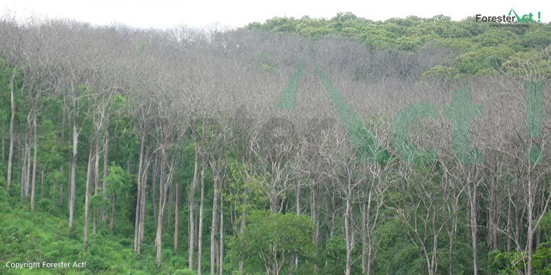 Daun Pohon Jati