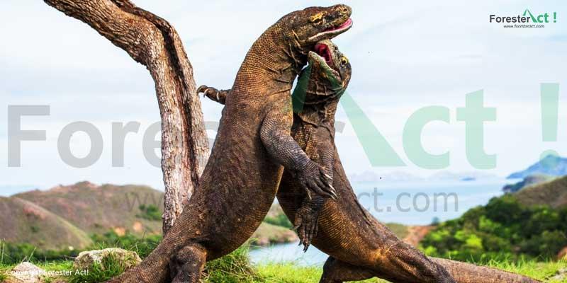 Komodo-(Varanus-komodoensis)-satwa-kanibal