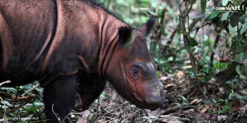 Anak-Badak-Sumatera