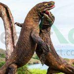 Komodo-(Varanus-komodoensis)-satwa-kanibal-langka