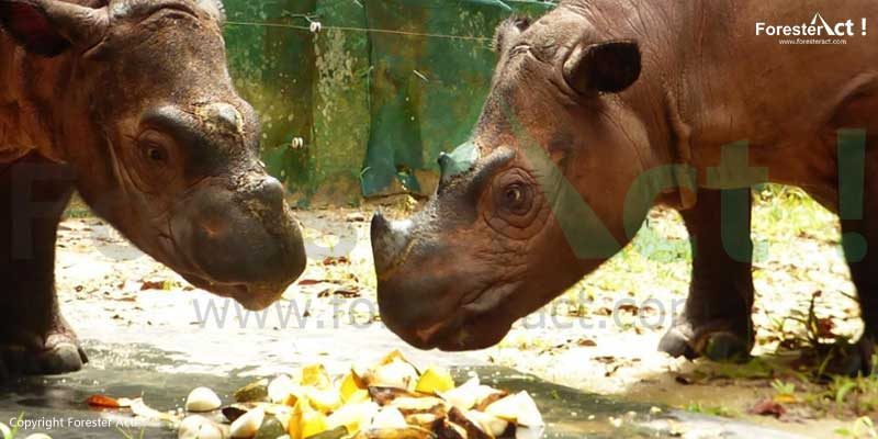 Konservasi-Ex-Situ-Badak-Sumatera