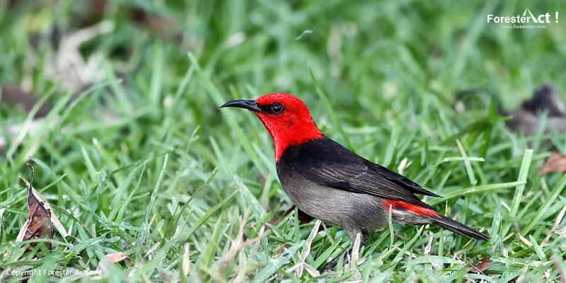 Myzomela irianawidodoae spesies burung terbaru dari Rote