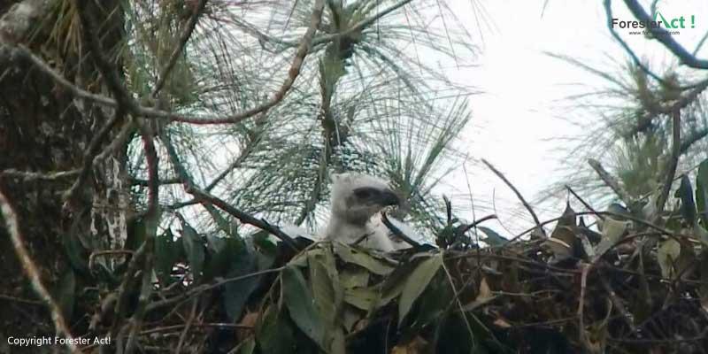 Anakan Elang Jawa Ditemukan di TNGC