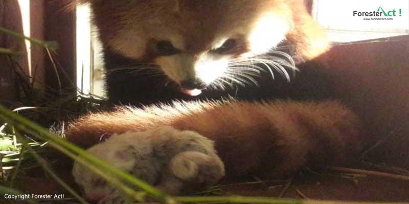 Induk Panda Merah yang Sedang Menjaga Bayinya