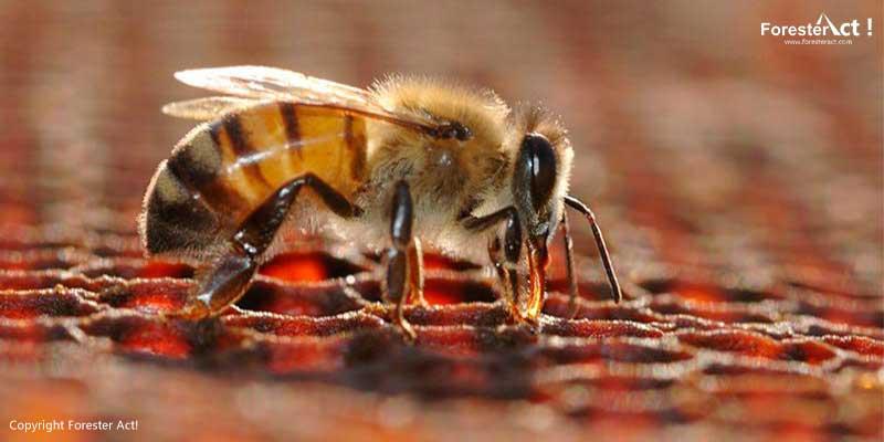Lebah Apis dorsata