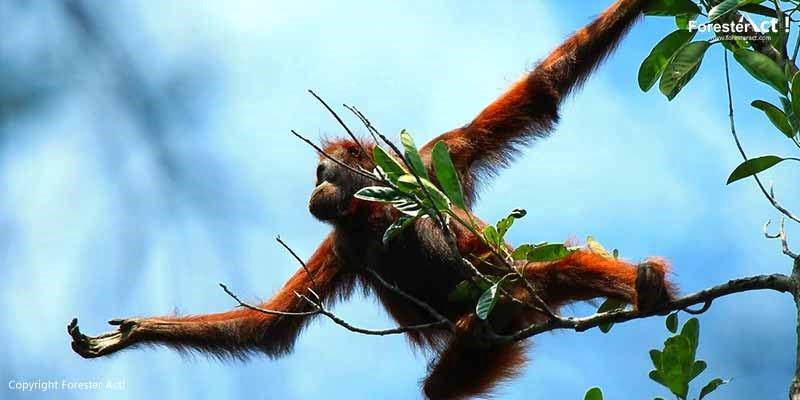 Orangutan Campbell