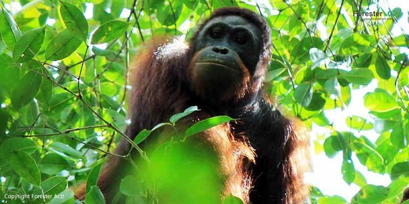 Orangutan Erik