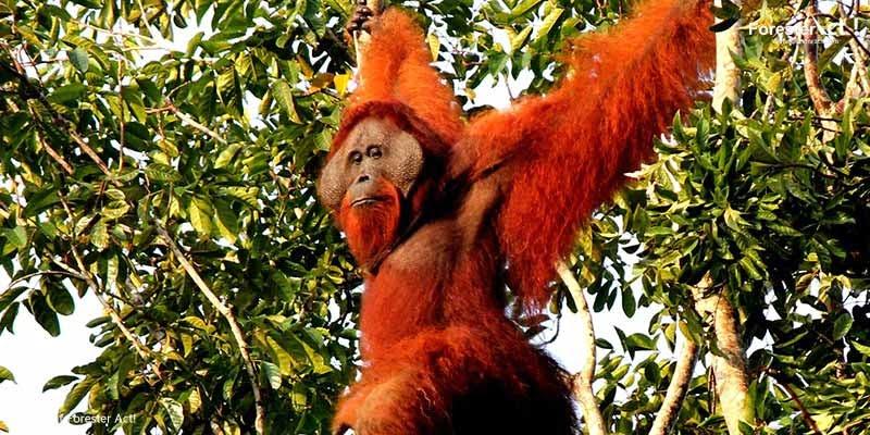 Orangutan Marcel