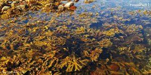 Rumput Laut sebagai Makroalga Biodiesel