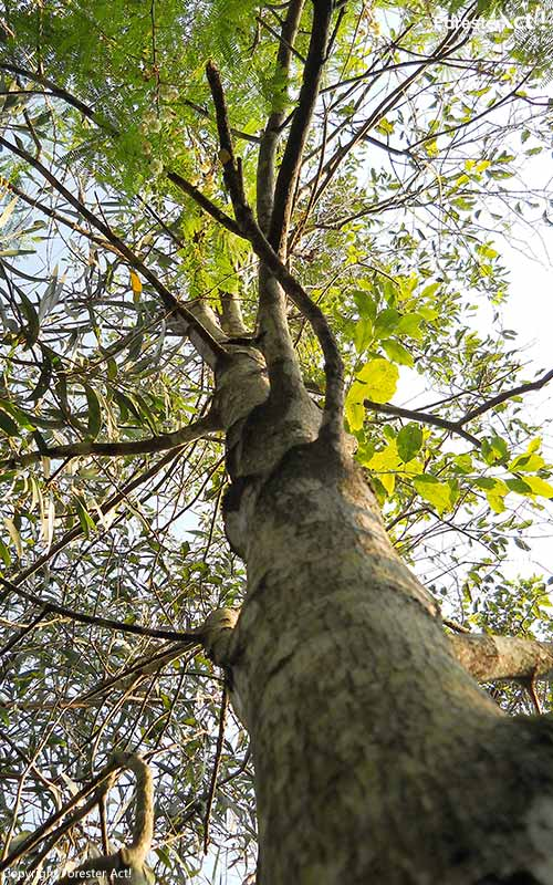 Batang Pohon Cendana yang Kokoh