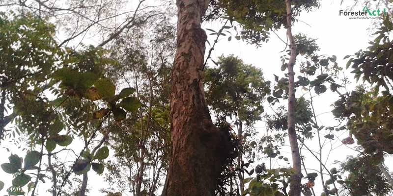 Batang Pohon Sonokeling