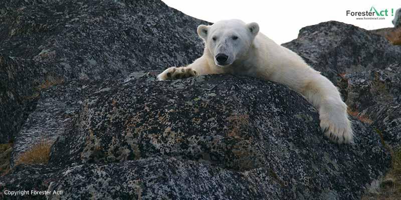 Beruang kutub kehilangan habitatnya akibat pemanasan global