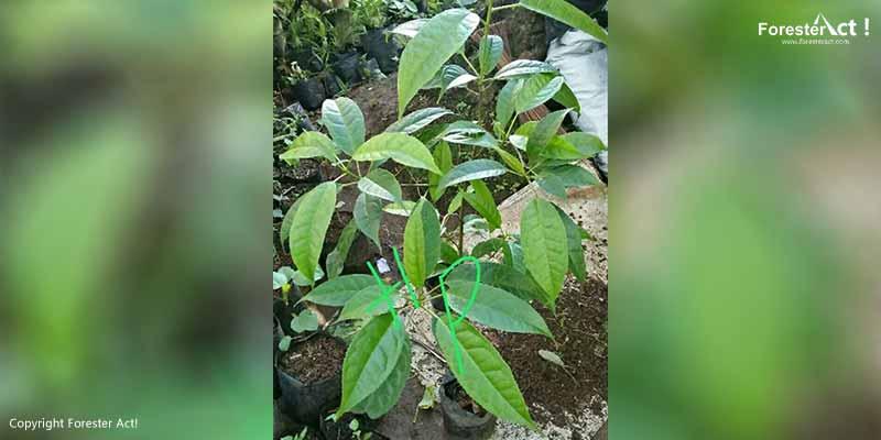 Bibit Pohon Rasamala