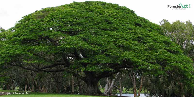Pohon Ki Hujan