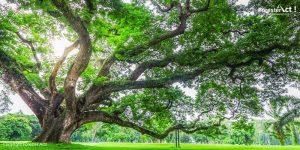 Pohon Trembesi