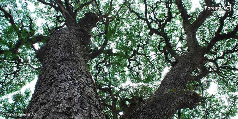 Pohon Trembesi sebagai Tanaman Peneduh