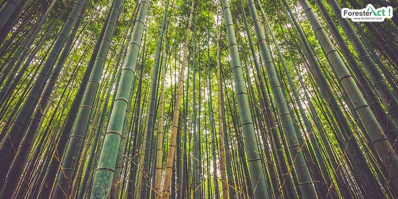 """""""Bambu"""