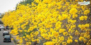 Bunga Pohon Tabebuya (beritagar.id)