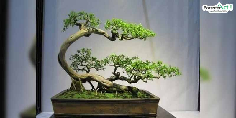 Bonsai Unik (pinterest.com)