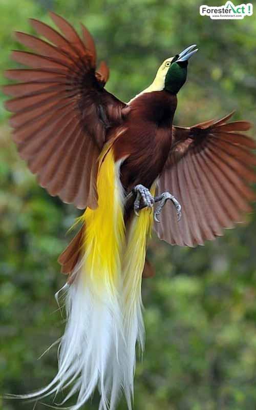 Burung Cendrawasih Bird Of Paradise Laman 3 Dari 5