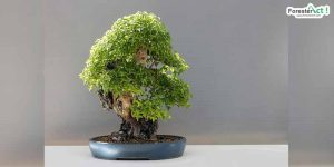Bonsai (pixabay.com)