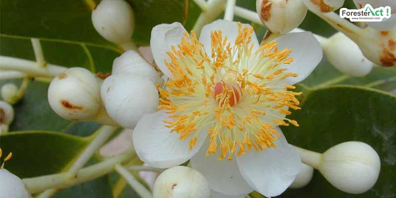 Bunga Nyamplung (wikipedia.org)